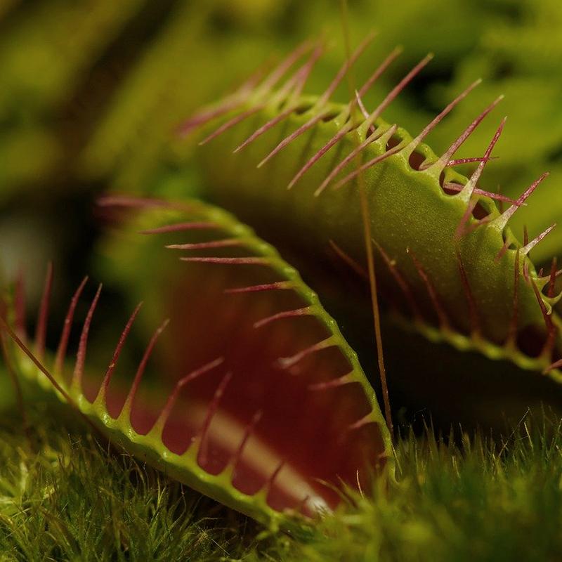 Insektsätande växt - Venus flugfälla