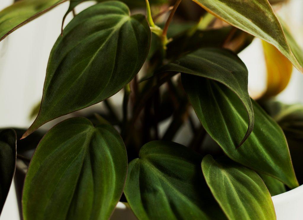Philodendron Micans skötsel